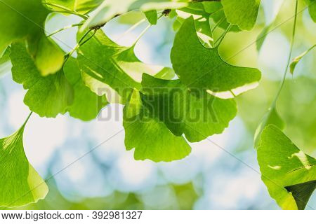 Close-up Brightly Wet Green Leaves Of Ginkgo Tree (ginkgo Biloba), Known As Ginkgo Or Gingko In Soft