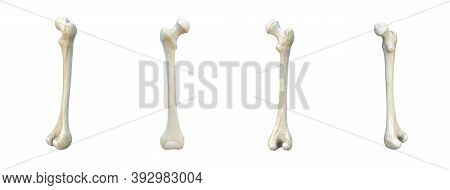 Right Human Femur Bone, Set, White Background, Bones, 3d Rendering