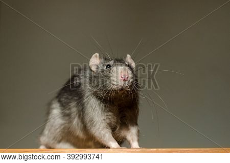 Small Fluffy Gray Rat Sits On A Table In The Rays Of The Sun, With A Large Mustache And Looks Curiou