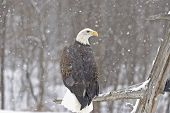 Bald eagle in falling snow. Northern Minnesota poster