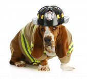 basset hound dressed up like a fire fighter isolated on white backgroun poster