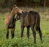 Two nice foals in close contact on the field late autumn day poster