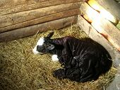A newborn calf. He drawn the first breath in frosty winter night. We had to tuck him. poster