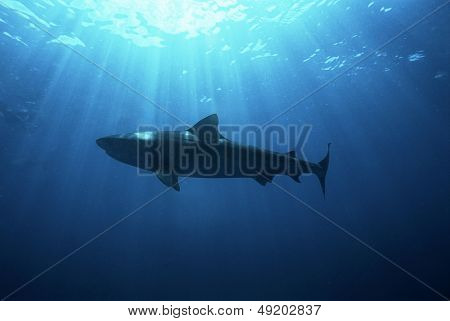 Aliwal Shoal Indian Ocean South Africa dusky shark (Carcharhinus obscurus) low angle view