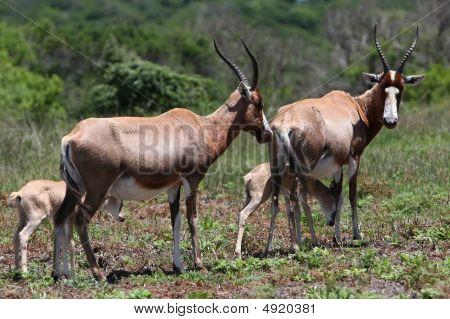 Bontebok Antelope Mothers And Babies