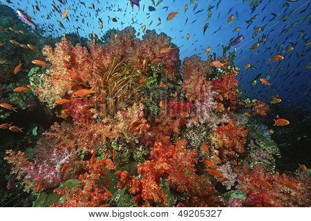 School of sea goldies amongst soft coral reef