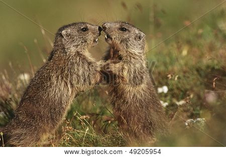 Two Marmots on meadow