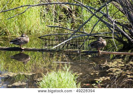 Two Ducks Perched On Log.