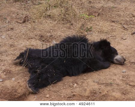 Bear relaxing/sleeping in shade on a hot summer sunny day poster