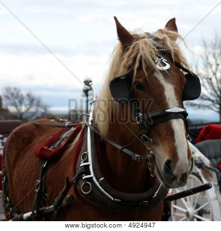 Horse For Pulling Carriage