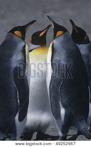 UK South Georgia Island three King Penguins standing on beach