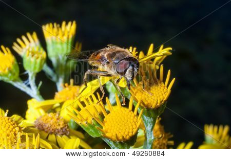 Bee pollinating and gathering nectar on a flower poster