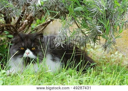 Blu tabbie persian cat under rosemary on the grass poster
