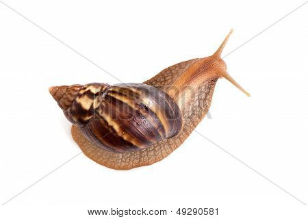 Big brown snail crawls on white background macro photo poster