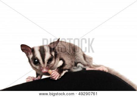 Small  Sugar Glider (petaurus Breviceps) Isolated On White. Omnivorous, Arboreal Gliding Possum