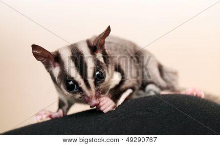 Eating Sugar Glider (petaurus Breviceps). Small, Omnivorous, Arboreal Gliding Possum