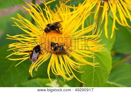 Three bumblebees pollinate seat one yellow flower poster