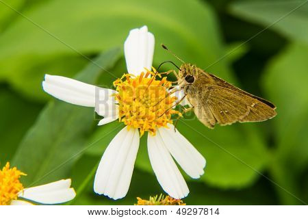 Butterfly Feeding On Little White Flower