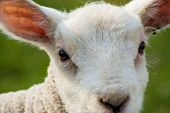 Close up of lamb's face ears and eyes poster