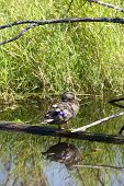 A duck rests on a log in a swamp area of Fernan Lake Idaho. poster