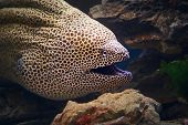 Honeycomb moray eel close-up (Gymnothorax favagineus ) poster