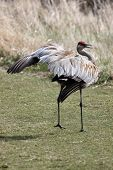 A Sandhill Crane performing a mating ritual in the springtime poster