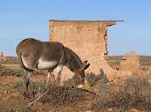 Wild donkey beside old ruins in desert. poster