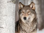 Grey Wolf (Canis lupus) Looks Up - captive animal poster