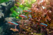 Neon tetra fish with aquatic plant in aquarium poster