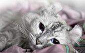 American Curl. White Cat