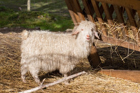 Angora goat (mohair goat)
