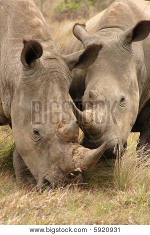 Rhino Pair