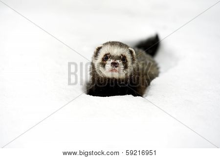 Forest ferret in the woods in winter poster