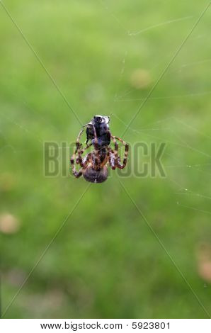 A Spider Eating
