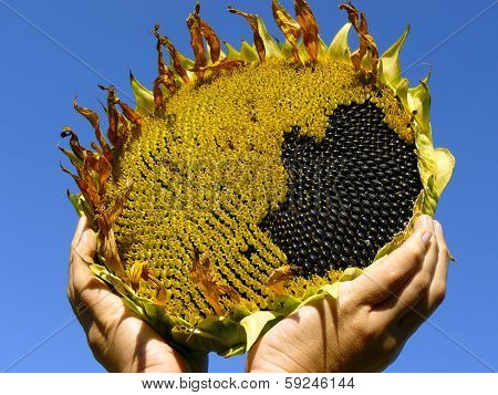 hands with sunflower against blue sky