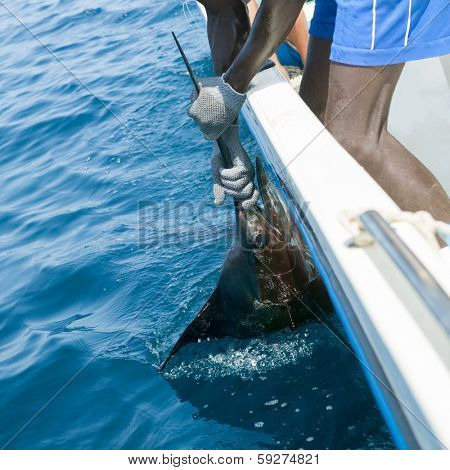 Sailfish catch billfish sportfishing holding bill with hands and gloves