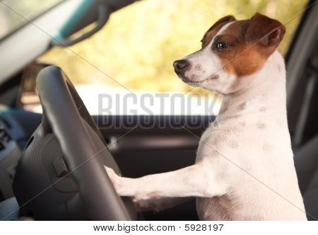 Jack Russell Terrier Dog Enjoying a Car Ride. poster