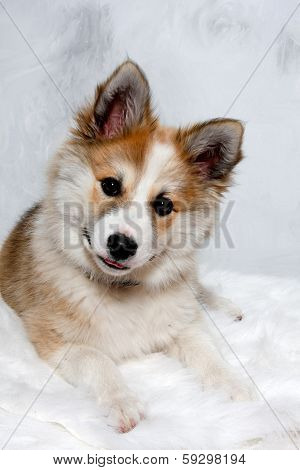 Norwegian lundhund dog is resting and is looking in the camara. Some people also call it a Norwegian Puffin Dog.