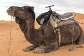 Dromedar sitting in the desert in Morocco, North Africa poster
