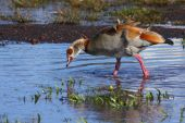 egyptian goose standing in the wind looking for a drink poster