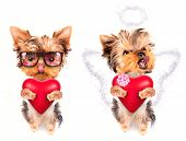 cute lover valentine puppy dog with a red heart isolated on white background poster