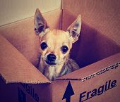 a tiny chihuahua in a box marked fragile done with a vintage retro instagram filter poster
