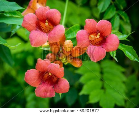 Campsis radicans. Trumpet vine or trumpet creeper also known in North America as cow itch vine or hummingbird vine. poster