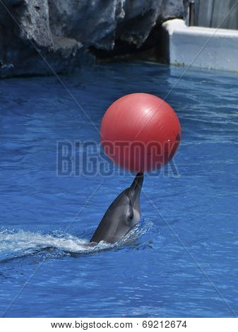 A Dophin Play Red Ball