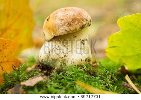 Small  Mushroom In Autumn Forest