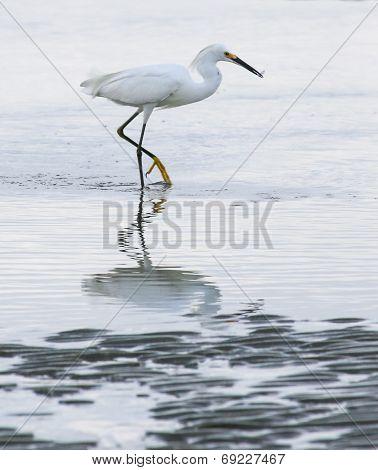 Egret Surf Feeding