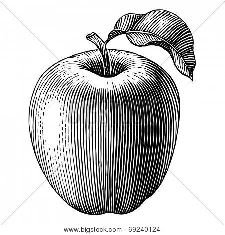 Engraved illustration of an apple. Vector
