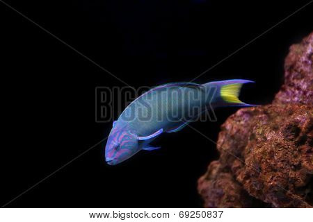 Moon Wrasse On A Black Background.