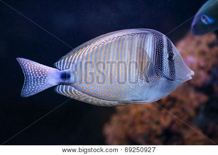 Red Sea Sailfin Tang, A Fish From Tropical Water Of Indian Ocean