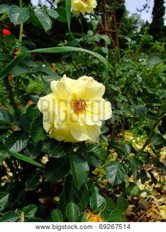 Honigmond Rose
